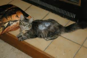 how to treat ringworm in cats ringworm cat big problem