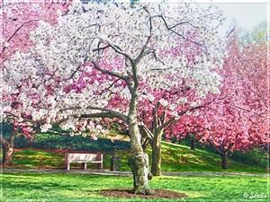 Cherry Blossom Wallpapers   Wallpaperholic