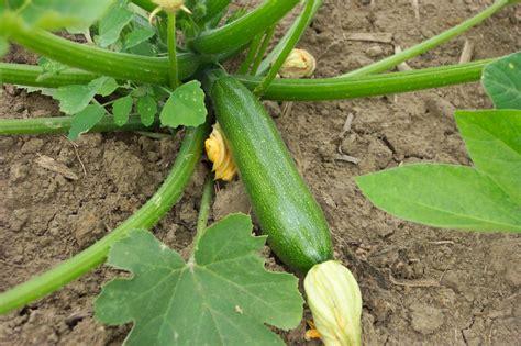 belevenissen een tuinkabouter groenten courgette