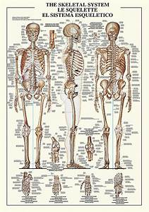 The Skeletal System  U2013 Image Conscious