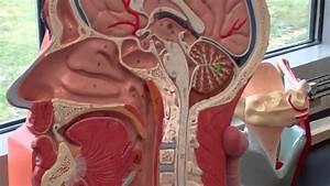 A U0026p 2 Respiratory System Walk Through With Anatomy Models