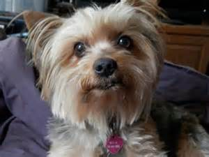 Yorkshire Terrier and Shih Tzu Mix