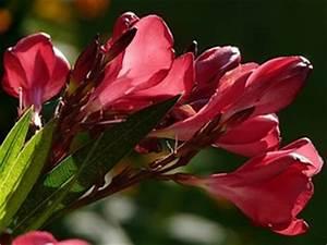 Oleander Stecklinge Wurzeln Nicht : oleander berwintern schnitt bl te und vermehrung ~ Lizthompson.info Haus und Dekorationen