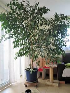 Ficus Benjamini Gelbe Blätter : sichtschutz kleinanzeigen pflanzen garten ~ Watch28wear.com Haus und Dekorationen