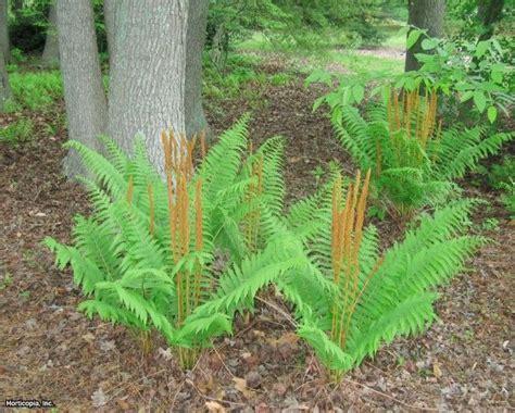 cinnamon fern osmundastrum cinnamomeum cinnamon fern is a species of native fern found growing in sws