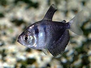 An article dedicated to raising Black Skirt Tetras in fish ...