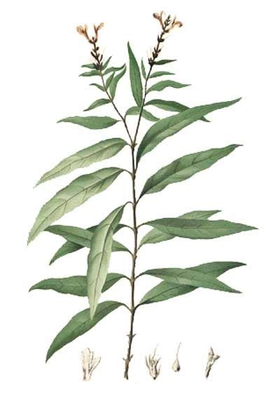 tumbuhan obat sains gandarusa gandapura