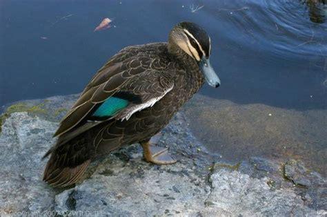 pacific black duck anas superciliosa