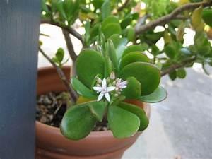 Geldbaum Feng Shui : welche feng shui pflanzen sollten sie laut feng shui im haus und garten haben ~ Bigdaddyawards.com Haus und Dekorationen