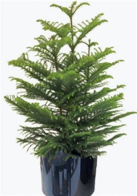 norfolk pine tree can bunched pine trees be separated