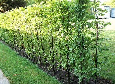 Garten Sichtschutz Pflanzen Immergrün by Sichtschutz Pflanzen Schnellwachsend Immergr 252 N Sararussew