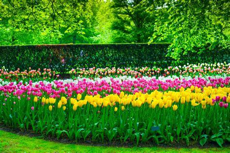 tulip flower garden free stock garden in keukenhof tulip flowers and trees netherlands stock image image 40247119