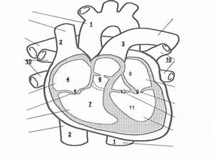 Diagram Of The Heart Blank