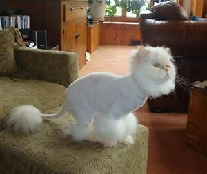 Flame Point Himalayan Anna-trimmed | Cat Cuteness ...
