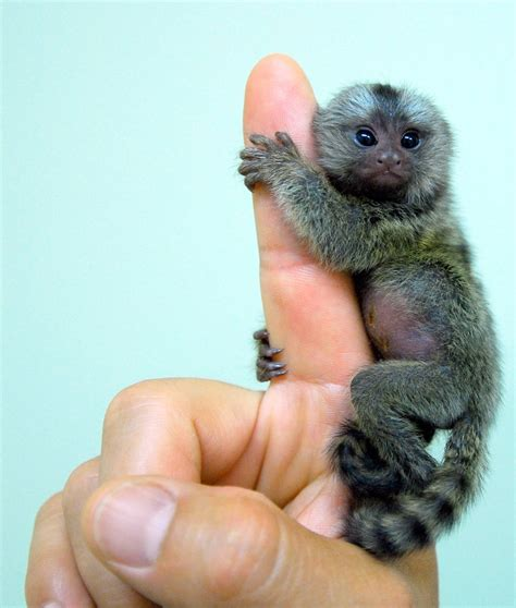 small monkey breeds smallest breed of monkey animals birds pinterest