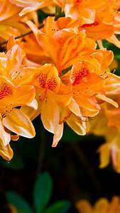 Light Orange Flowers HD Android Wallpaper free download