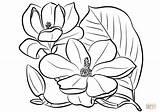 Magnolia Grandiflora Colorare Magnolias Supercoloring Punkt Magnolie Disegnare Rakete sketch template
