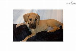 Great Dane puppy for sale near Fayetteville, North ...