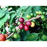 """Coffee is a brewed drink prepared from roasted coffee beans, the seeds of berries from certain coffea species. Amazon.com : Hirt's Arabica Coffee Bean Plant - 2.5"""" Pot - Grow & Brew Your Own Coffee Beans ..."""