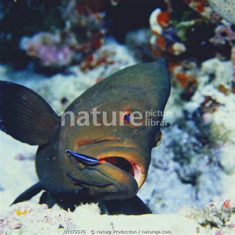 wrasse striped cleaning dimidiatus labroides streak cleaner grouper rogaa mouth japan lightbox mail order nature