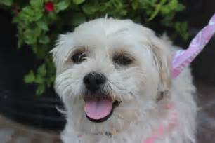 lhasa apso poodle mix dog breeds picture