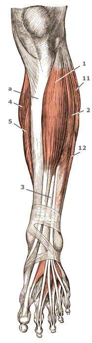 tibialis anterior vorderer schienbeinmuskel