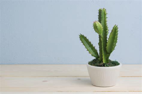 comment entretenir un cactus en pot cactus en maison ou appartement esp 232 ces soins ooreka