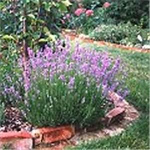 Lavendel Wann Schneiden : lavendel schneiden pflege und mehr echter lavendel ~ Lizthompson.info Haus und Dekorationen