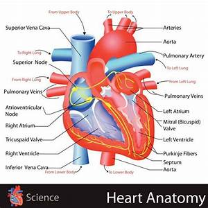 16 Best Anatomy And Physiology Models Images On Pinterest