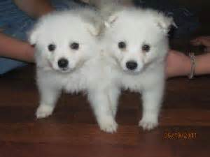 american eskimo breed information pictures standard