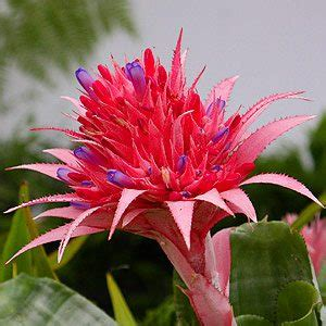 bromeliads australia nursery bromeliads plants for sale nurseries online