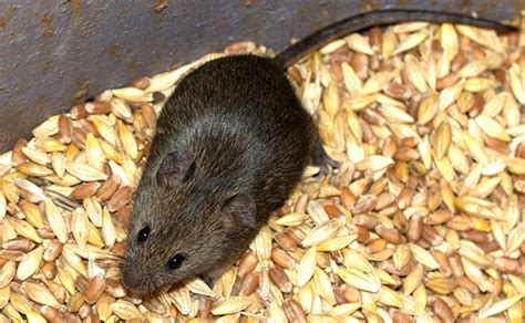what food sources attract rodents
