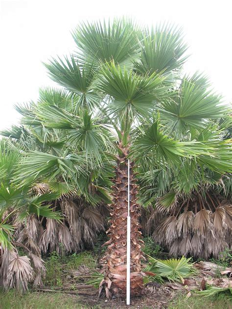 mexican fan palm care universal tree farm llc plantant com