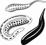 Leech Vector Clip Illustrations Similar sketch template