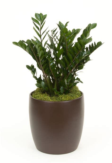 ZZ_Plant_25_FL_Grown_14in - Plantscapes
