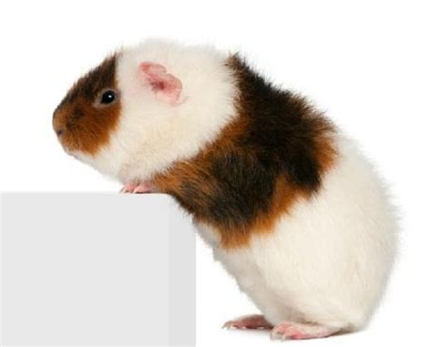 guinea pig breeds teddy guinea pig breeds zoe fans blog cute baby animals pintere