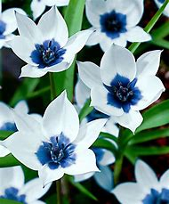 Beautiful Blue Flowers White