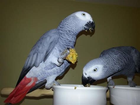 pair of talking blue and gold macaw free to good home