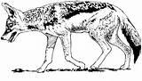 Coyote Coloring Coyotes Printable Bobcat Drawing Clipart Animals Leanna San Clip Animal Walking Footprint Wildlife Getdrawings sketch template