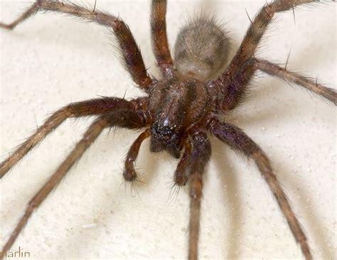 Barn Spider Bite by Barn Funnel Weaver Spider Tegenaria Domestica