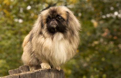 dog breeds closely related  wolves
