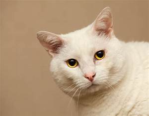 Serious white cat with yellow eyes wallpapers and images ...