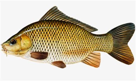 Gambar Ikan Lele Terlengkap 28 gambar ikan dan jenisnya terlengkap 2018 gambar pedia