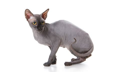 sphynx cat guide breed personality care canna pet
