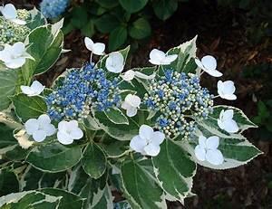 Hydrangea Macrophylla Winterhart : plants flowers hydrangea macrophylla mariesii variegata ~ Michelbontemps.com Haus und Dekorationen