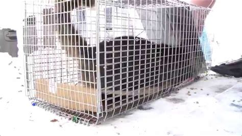 stray cat trap feral cat goes crazy stray feral cat trapping trap neuter
