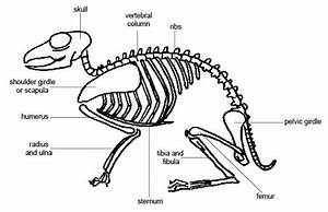 Anatomy And Physiology Of Animals Mamalian Skeleton 1