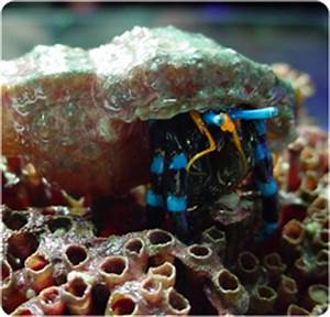 Electric Blue Knuckle Hermit Crab Electric Blue Hermit