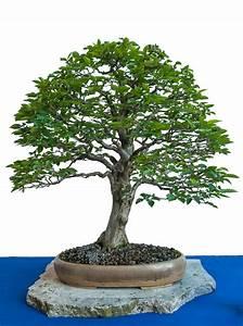 Hainbuche Baum Schneiden : alte hainbuche als bonsai baum fotoblog blog ber ~ Watch28wear.com Haus und Dekorationen