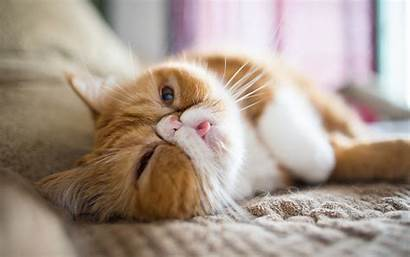 Exotic Cat Shorthair Cats Funny Persian Ginger